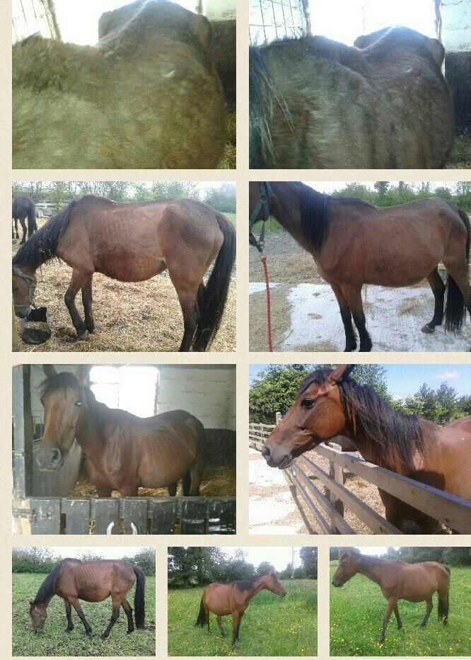 Neglected horse's progress