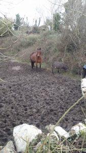 Horses standing in Muck