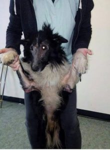 Collie with Skin Problems