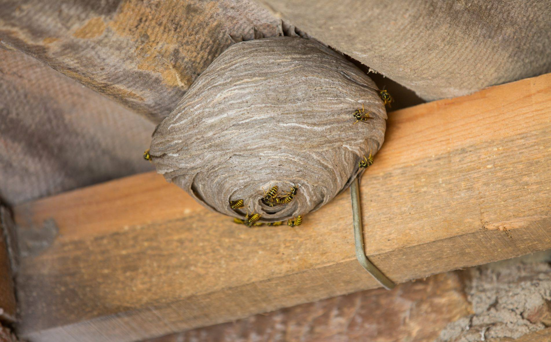 Wasp Nests Can Be Very Dangerous