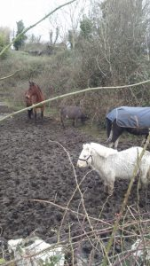 Abandoned horses in Muck